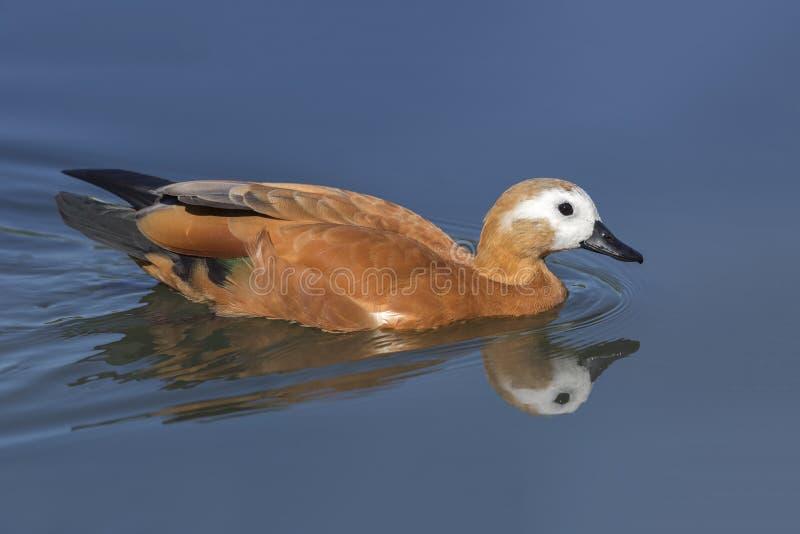 Ruddy Shelduck-Schwimmen in einem Teich stockfotos