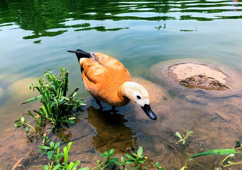 Ruddy Shelduck-Schwimmen im See stockfotos