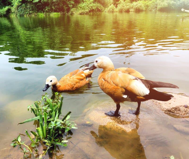Ruddy Shelduck-Schwimmen im See stockbilder