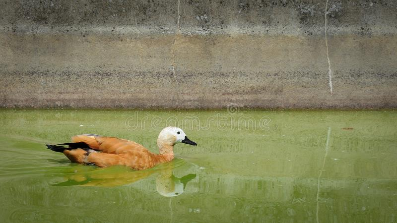 A ruddy shelduck swimming in a pond royalty free stock photography