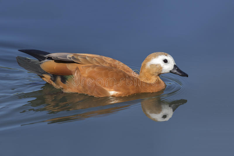Ruddy Shelduck swimming in a pond stock photos