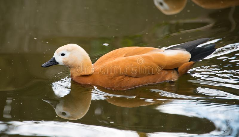 Ruddy shelduck swimming in water. The ruddy shelduck, Tadorna ferruginea, known in India as the Brahminy duck, is a member of the family Anatidae. It has orange stock photo