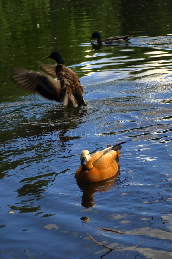 The Ruddy shelduck between ducks on the pond stock images