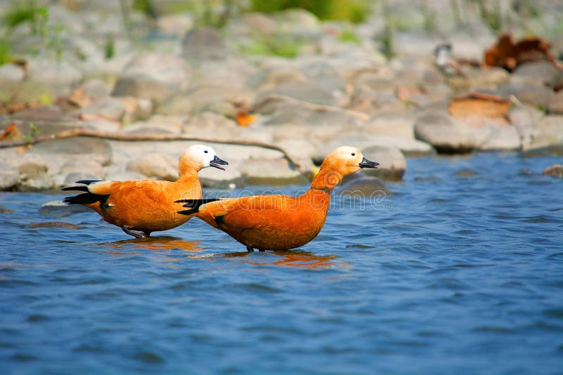 Ruddy shelduck, Tadorna ferruginea known in India as the Brahminy duck royalty free stock photography