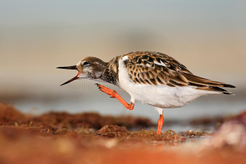 Ruddy Turnstone, Arenaria interpres, in the water, with open bill, Florida, USA royalty free stock photo