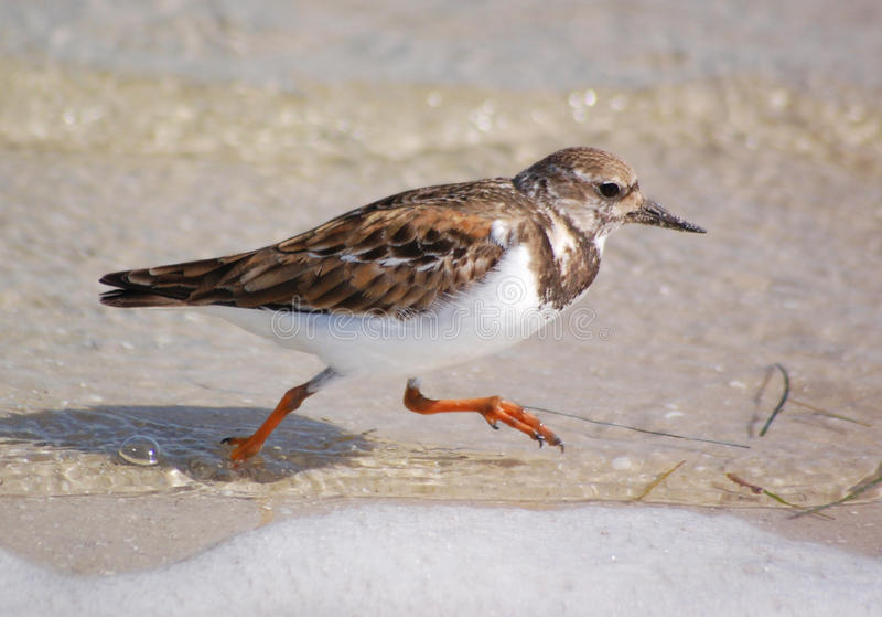 Ruddy Turnstone-Beach Birds. A Ruddy Turnstone in his winter plumage running on a winter beach in Florida royalty free stock photo