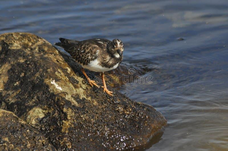 Ruddy Turnstone, die langs de overzeese kustvogel lopen royalty-vrije stock afbeeldingen