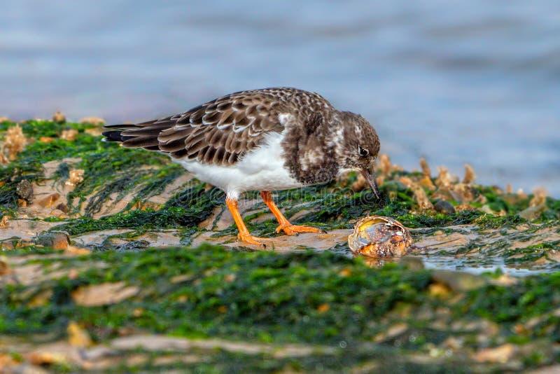 Ruddy Turnstone - interpres de la arenaria que alimentan en un molusco foto de archivo libre de regalías