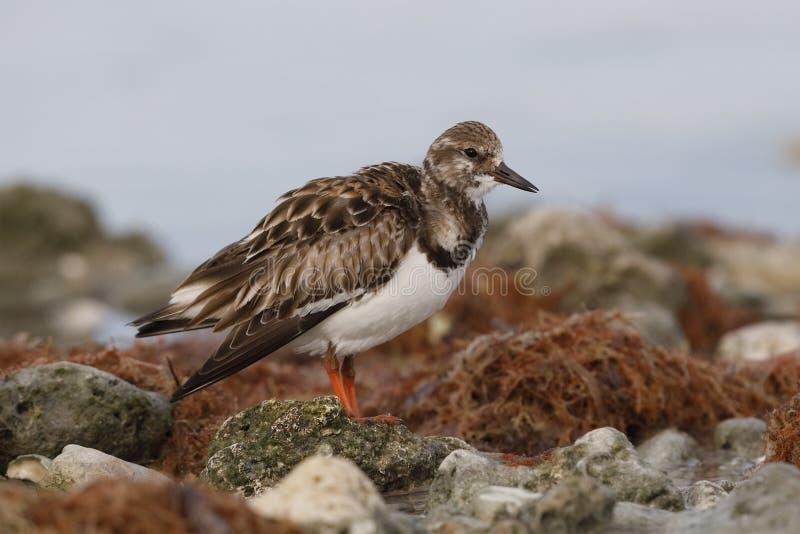 Ruddy Turnstone que forrageia entre algumas rochas em uma praia - Dunedin, imagens de stock