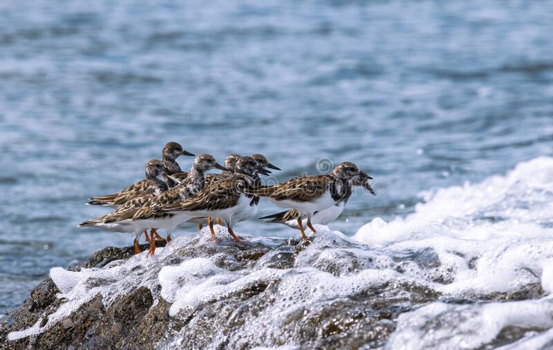 Ruddy turnstone wave stock photography