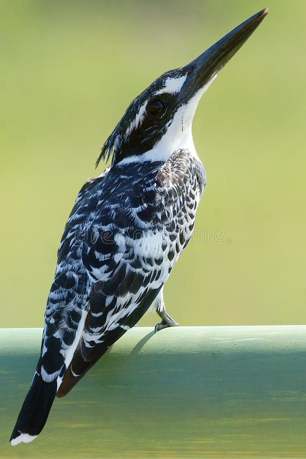 Download Rudis Kingfisher Ceryle Pied Стоковое Изображение - изображение насчитывающей kingfisher, небо: 41660237