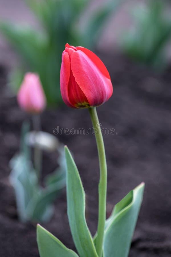 Rudoczerwony tulipan r w ogródzie w polu w Holandia zdjęcie stock