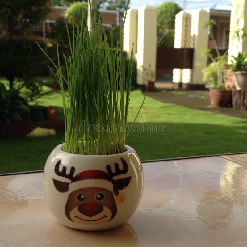 Rudolf& x27; wachsendes Haar s, das Gras - DIY-ANLAGE ist stockfoto