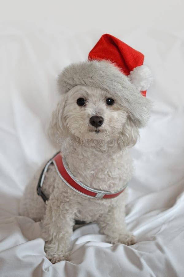 Rudy, chiot bolonais avec le chapeau de Noël sur le fond blanc images stock