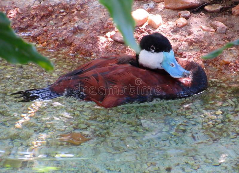 Closeup of Rudy Duck Wading in a Florida Pond royalty free stock photo