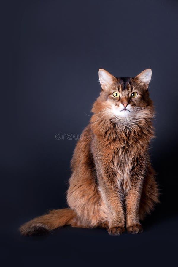Download Rudy somali cat portrait stock photo. Image of plush - 18378770