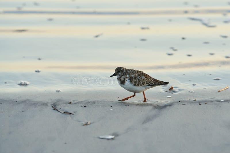 Rudy Turnstone Walks solitaire la plage photo stock