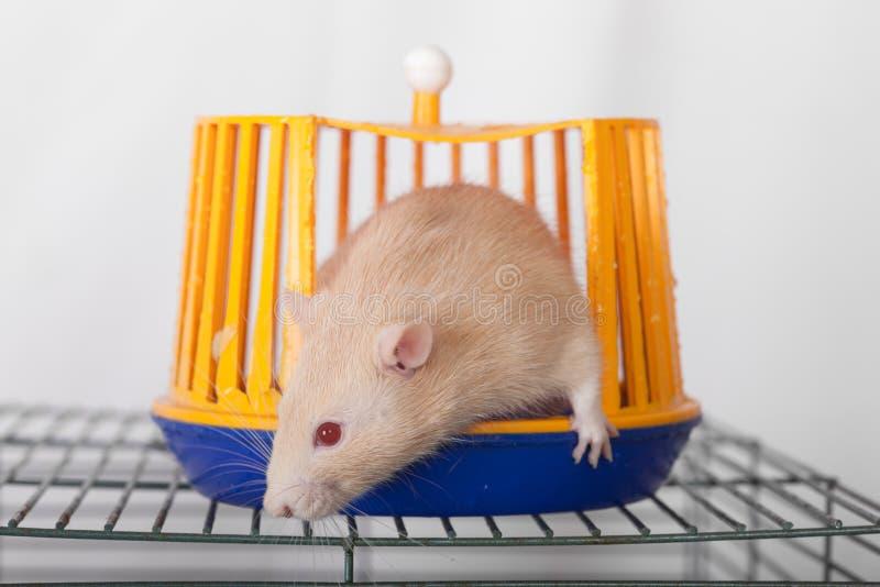 Rudzielec domowy szczur zdjęcia royalty free