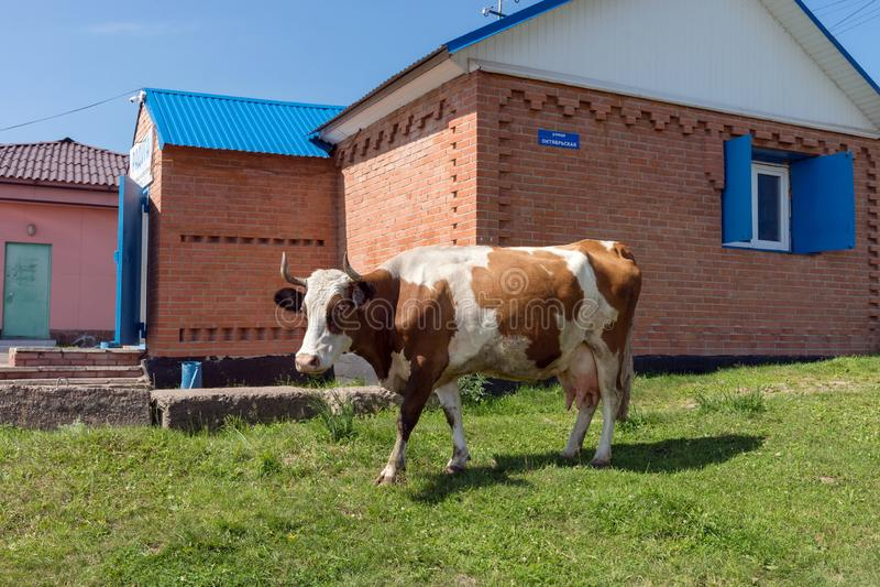 Rudzielec krowy domowi stojaki blisko wiejskiego sklepu w wiosce w lecie fotografia stock