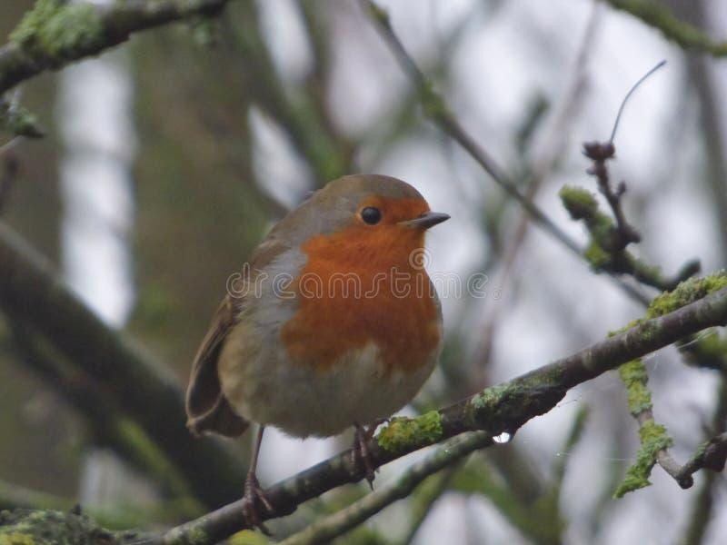 Rudzik piersi Czerwony ptak - UK obrazy royalty free