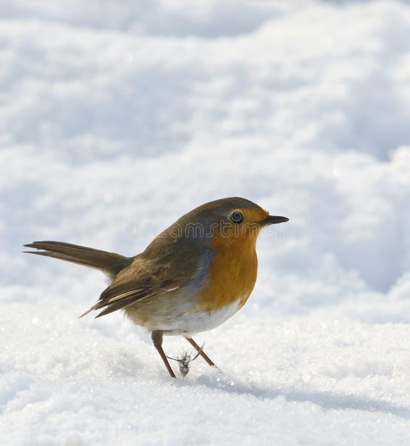 Rudzik w śniegu zdjęcie royalty free
