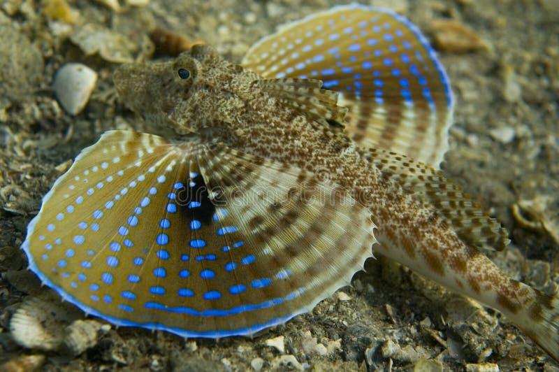 rudzika bluespotted morze zdjęcie stock
