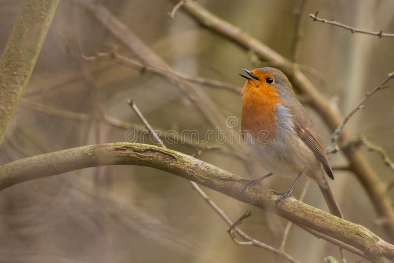 Rudzika ptak Erithacus rubecula zdjęcie royalty free