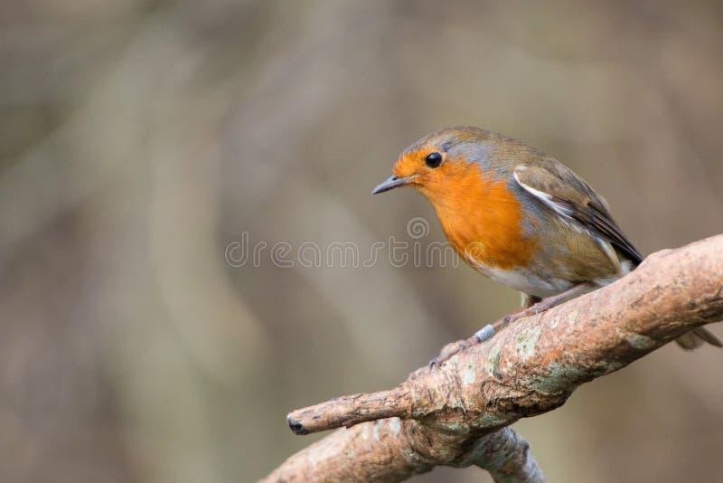 Rudzika ptak Erithacus rubecula fotografia stock