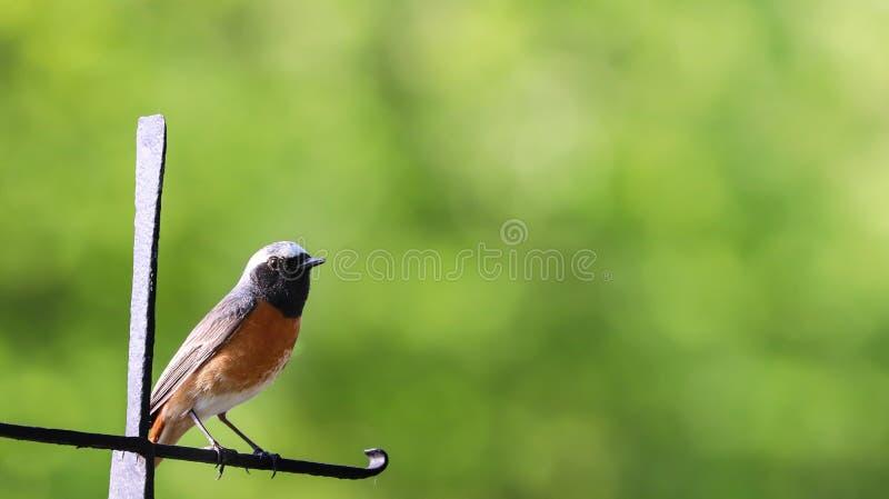 Rudzika ptak Europejski rudzika Redbreast Erithacus rubecula tyczenie na pogodnym wiosna dnia zieleni ogródzie za ostrości bokeh  zdjęcie royalty free