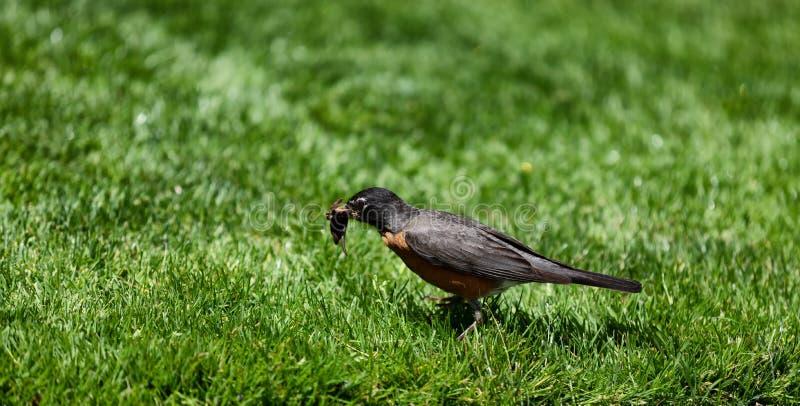 Rudzika zgromadzenia ptasie dżdżownicy dla karmić jej potomstwa zdjęcia royalty free
