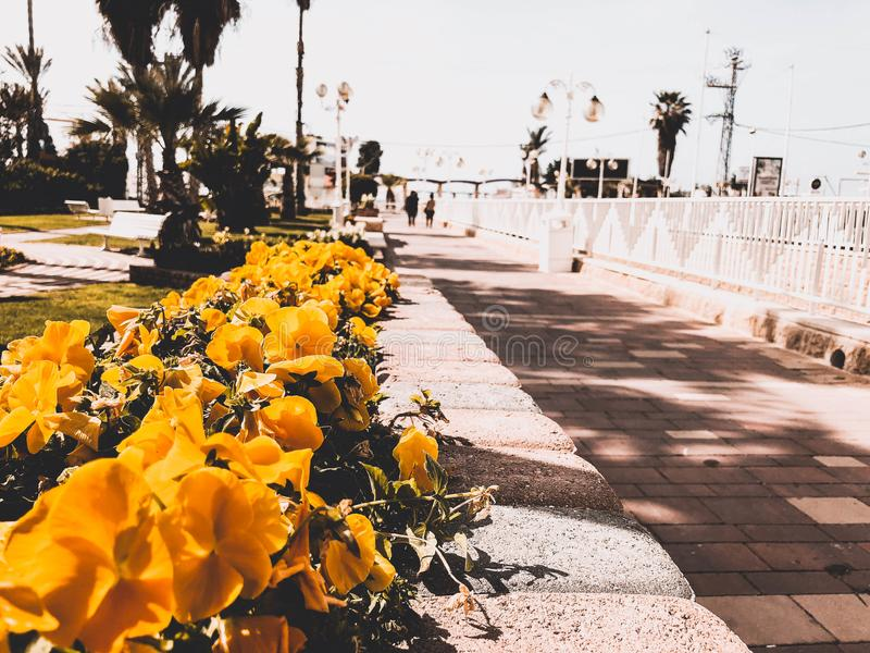 Rue avec les fleurs jaunes au centre de Nahariya, Israël image libre de droits