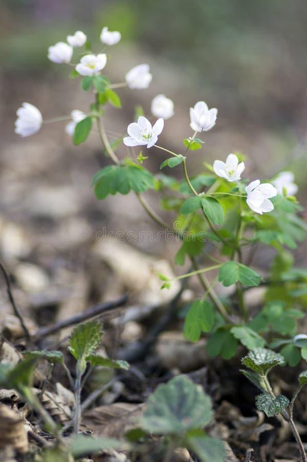 Rue Leaved Isopyrum vårblomma, grupp av vita blomningväxter i skogen arkivfoto