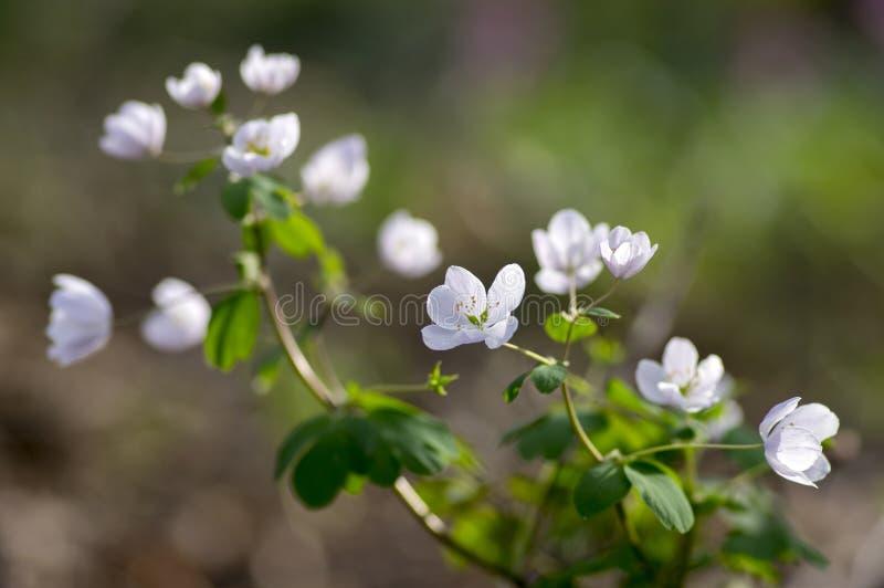 Rue Leaved Isopyrum vårblomma, grupp av vita blomningväxter i skogen royaltyfri foto