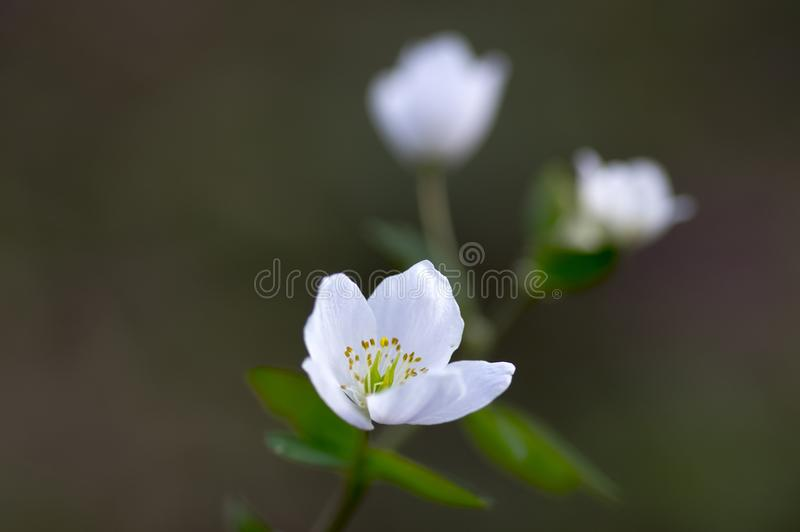 Rue Leaved Isopyrum vårblomma, grupp av vita blomningväxter i skogen royaltyfria foton