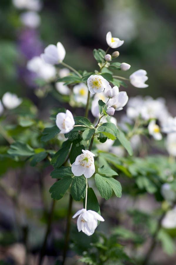 Rue Leaved Isopyrum vårblomma, grupp av vita blomningväxter i skogen royaltyfri bild