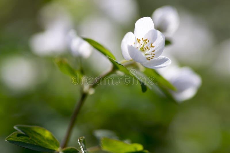 Rue Leaved Isopyrum vårblomma, grupp av vita blomningväxter i skogen arkivfoton