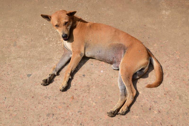 Rue ou chien égaré dans Myanmar photo stock