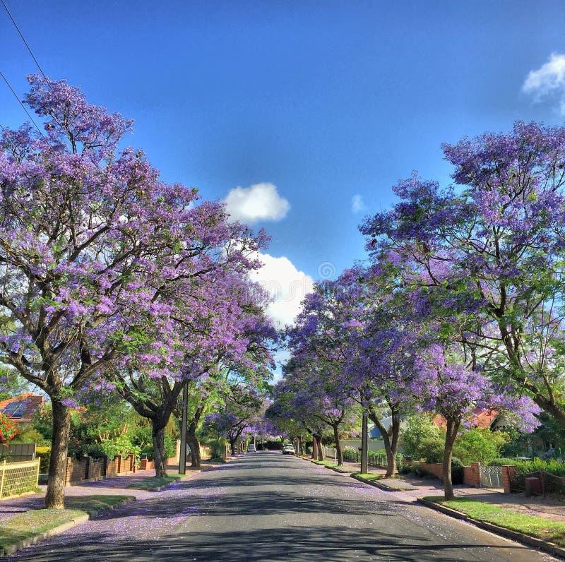 Rue rayée par arbre de Jacaranda photographie stock libre de droits