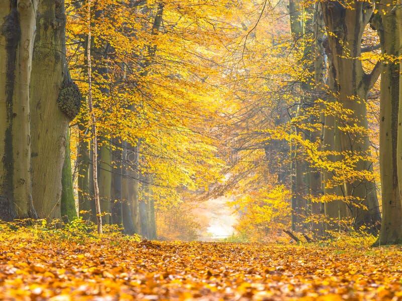 Ruelle avec le feuillage jaune des arbres de bouleau pendant l'automne photo libre de droits