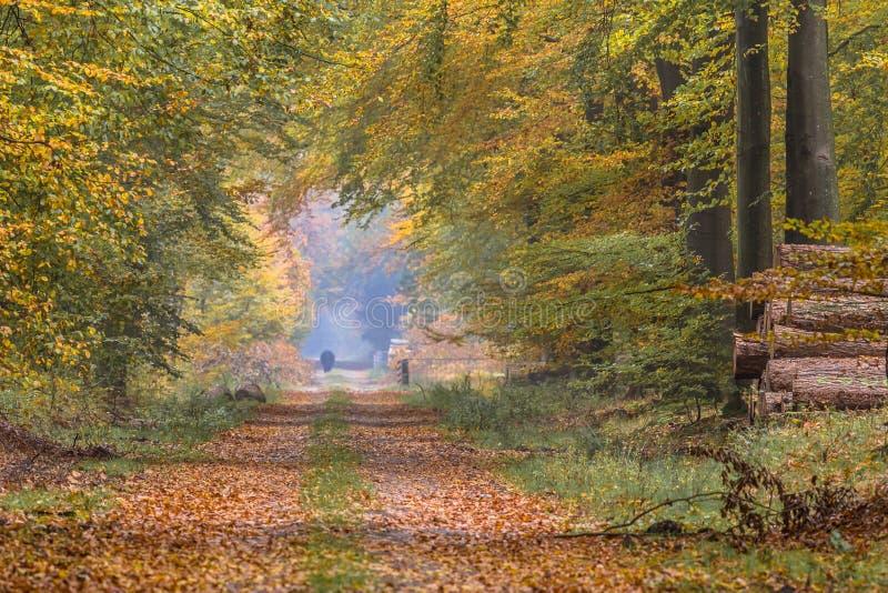 Ruelle d'automne avec de grands arbres de hêtre image stock