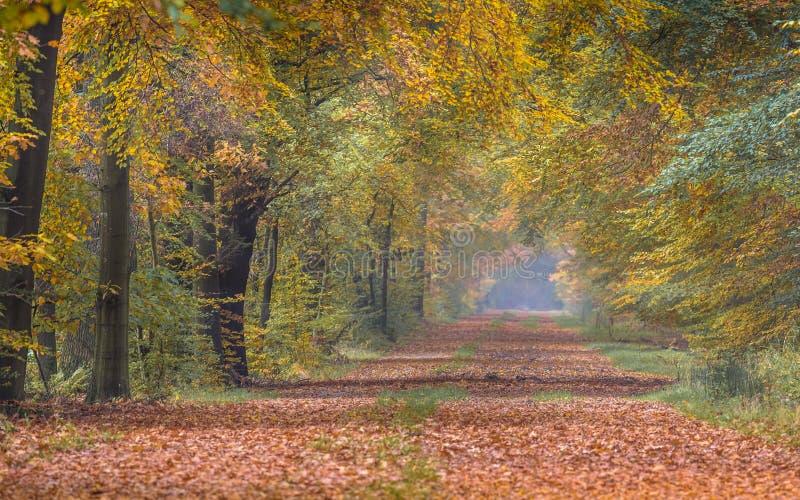 Ruelle d'automne avec les arbres de hêtre jaunes images libres de droits