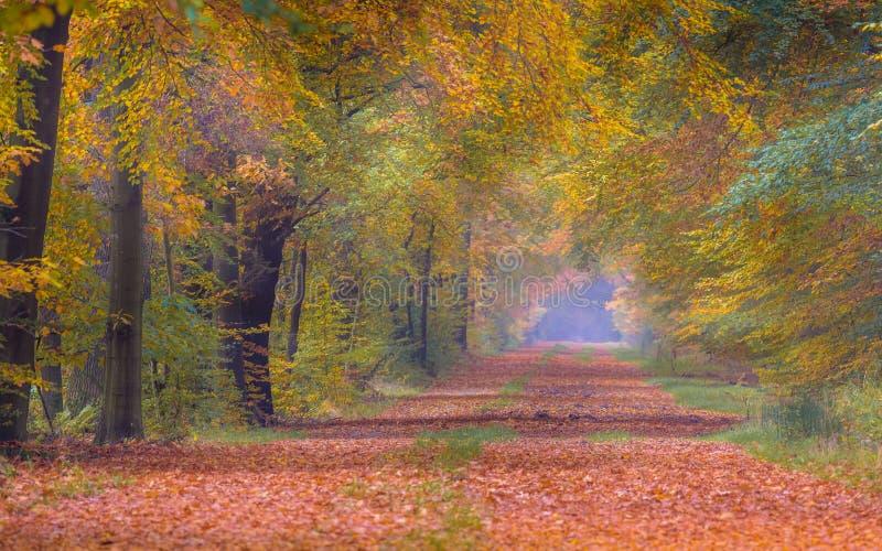 Ruelle d'automne avec les arbres de hêtre jaunes colorés lumineux photo libre de droits