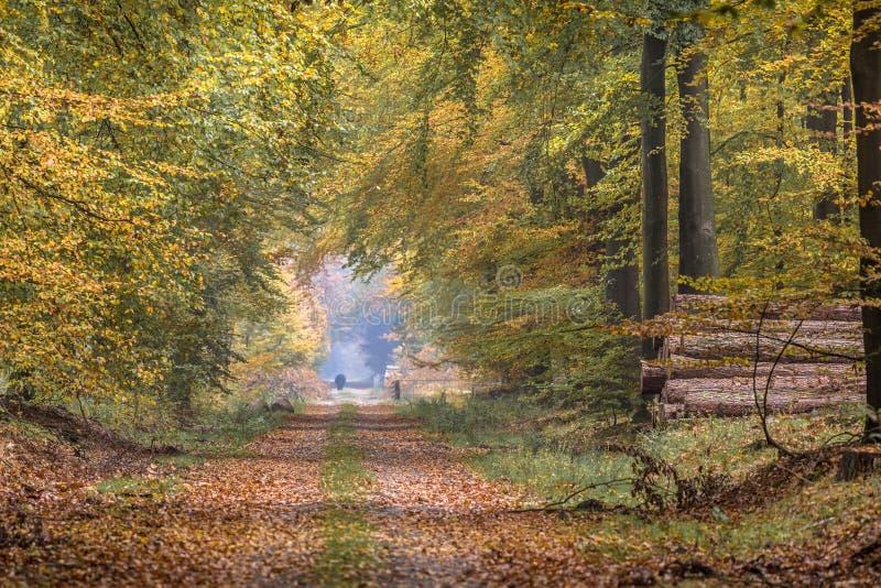 Ruelle d'automne avec les arbres de hêtre très hauts photo libre de droits
