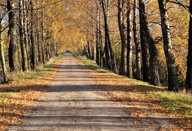 Ruelle de bouleaux d'automne photo libre de droits