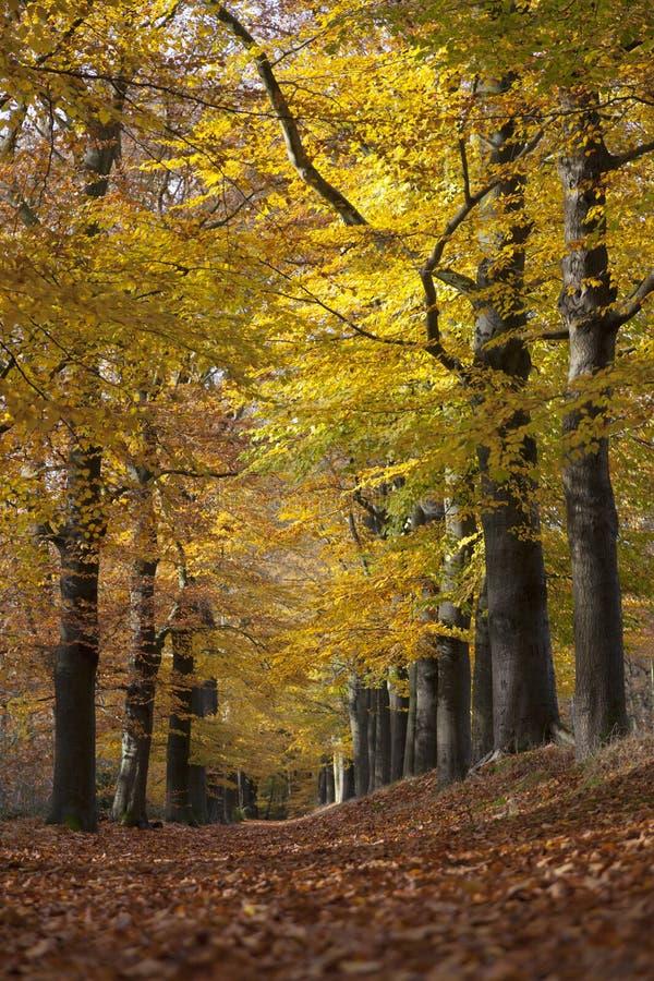 Ruelle de forêt entre les feuilles jaunes des arbres de hêtre en automne photos stock