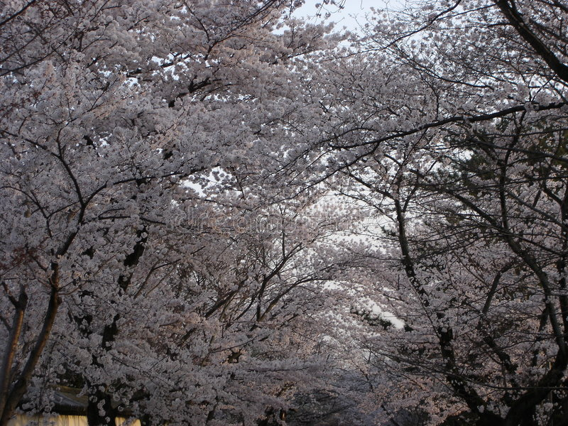 Ruelle de Sakura photo stock