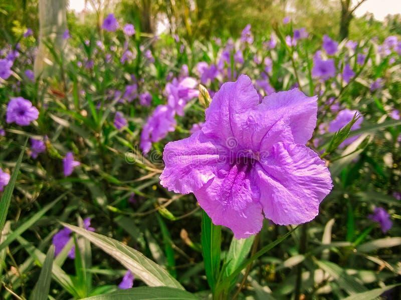 Ruellia Brittoniana royalty-vrije stock foto
