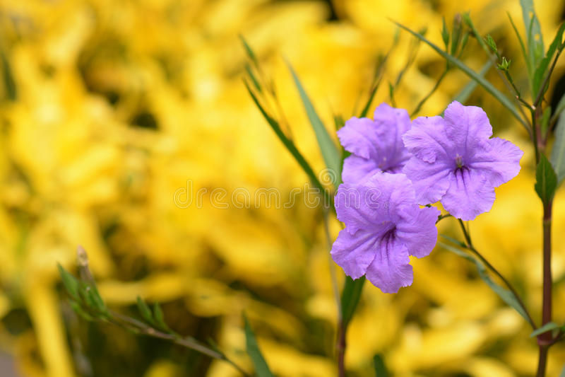 Ruellia flower Purple bloom (Ruellia tuberosa Linn. Waterkanon, Watrakanu, Feverroot, Popping pod) royalty free stock images