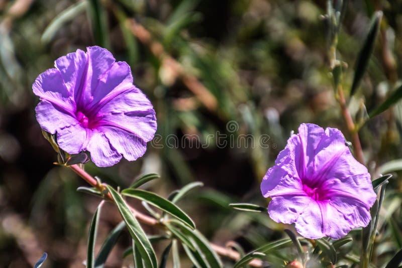 Ruellia simplex, britton`s wild petunia, mexican petunia, mexican bluebell stock photos