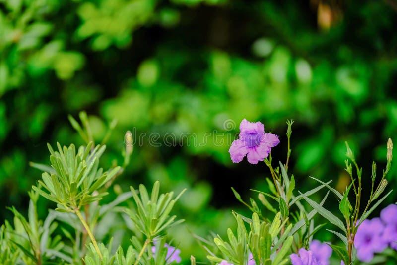 Ruellia Simplex i trädgården, på dagsljus royaltyfri fotografi